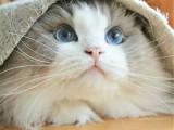 北京房山精品純種布偶貓一般多少錢一只