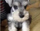 浦东哪里有雪纳瑞犬卖 浦东雪纳瑞犬价格 浦东雪纳瑞犬多少钱