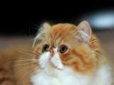 猫舍出售 纯血统赛级加菲猫 无病无癣 保健康可上门
