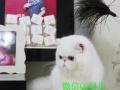 隆重推荐——超萌可爱精品异国短毛猫加菲猫