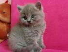 出售蓝猫暹罗布偶猫渐层美短折耳金吉拉波斯猫英短猫矮脚猫加菲猫