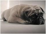 长期繁殖高品质纯沙皮狗 各类纯种名犬
