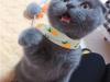 纯种折耳 渐层 蓝猫