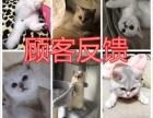 高端宠物猫繁殖英短 美短 加菲 布偶多窝出售包健康