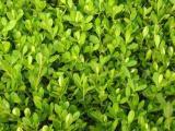 小叶扶芳藤种植,品种好的绿化苗木价格怎么样