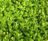 成活率高的绿化苗木出售_金叶女贞种植基地