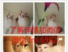 蓝猫英短猫苏格兰折耳猫蓝白乳白双血统幼猫乳白幼猫小猫
