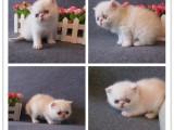 加菲貓貓舍直銷 水滴眼眼鼻一線 純種健康幼貓異短