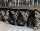 广州哪里有卖纯种美短小猫呢 广州美短小猫一只多少钱