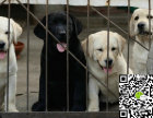 出售纯种拉布拉多幼犬 哪里卖健康拉布拉多多少钱 拉布拉多价格