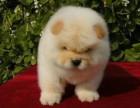 肉嘴松狮幼犬,超**的爱犬憨憨的样子可爱到了极点