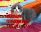 佛山哪里有卖短毛猫多少钱一只短毛猫好养吗已做疫苗包健康纯种