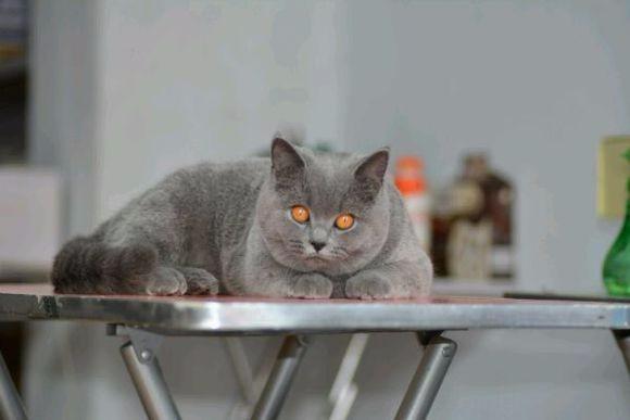 珠海哪里有布偶猫卖 海豹双色 重点手套均有CFA认可多只可挑