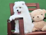 三亚哪里有萨摩耶出售 萨摩耶幼犬哪里的纯种健康 萨摩耶多少钱