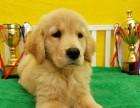 纯种枫叶系金毛巡回猎犬 专业养殖可签保障协议
