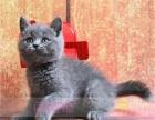 英国短毛猫蓝猫 宠物猫 纯种健康宠物猫 活体可空运