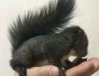 松鼠刺猬龙猫雪貂