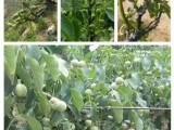 优质核桃树种苗冠核一号当年见果亩产千斤