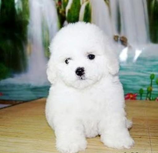 棉花糖般的比熊幼犬 纽扣眼毛量足小体比熊幼犬等
