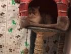 离厦处理三只成年加菲猫
