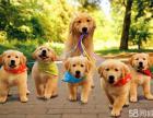 特价出售纯�种双血统金毛犬-优质血统-购犬无忧