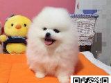 博美犬多少钱一只 哪里出售博美 球型哈多利博美犬出售