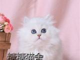 上海 纯种蓝猫 包子脸蓝白猫 加菲猫可上门包健康