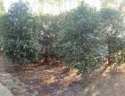 出售多种风景树