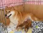 纯种柴犬价格 纯种柴犬多少钱