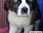 圣伯纳犬纯正健康出售-幼犬出售,当地可以上门挑选