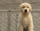 出售金毛寻回犬 金毛寻回犬幼犬纯种狗狗保证健康