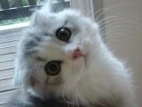 温州哪里有苏格兰折耳 高地折耳猫卖 疫苗已做保健康