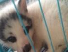 上海地区,宠物狐狸幼崽已经到货。