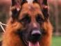 出售纯种德国牧羊犬狼狗,高大威猛服从性强,较忠