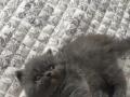 出售加菲猫幼崽(三月龄)