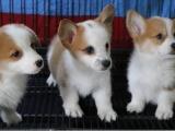纯种威尔士小短腿柯基幼犬 柯基犬双色 三色柯基犬 疫苗齐全