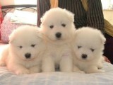 郑州最大狗场 特价直销世界名犬 萨摩耶犬等品种三百起
