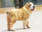 常年出售高品寵物犬幼犬,保健康簽協議,品種齊全