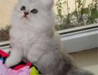广州买猫去哪里广州买金吉拉广州哪里有正规猫舍