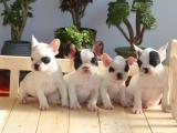 汕头龙湖出售宠物狗,法牛幼犬狗狗出售,包纯种,包健康