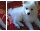 台州哪有银狐犬卖 台州银狐犬价格 台州银狐犬多少钱