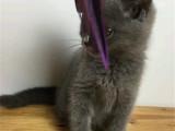上海盧灣雙血統藍貓優惠出售