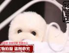 棉花糖比熊宝宝特价出售啦 超可爱宝宝 疫苗已做齐