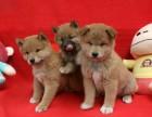 纯种柴犬幼犬宝宝出售 品质可靠 疫苗齐全
