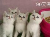 自家繁育美短,英短,加菲,健康保障,可上门选猫