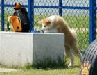 哪里有秋田犬出售 秋田多少钱一只