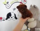 出售纯种泰迪犬幼犬狗长不大茶杯玩具泰迪犬迷你型贵宾宠物狗狗