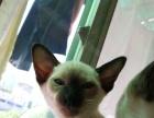 【自家养】杭州本地纯种暹罗猫仔找新家长,品相可见