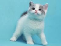 广州哪里有英短蓝猫卖 英短蓝白包纯种健康