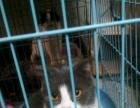 可爱的蓝白大英短猫要出售